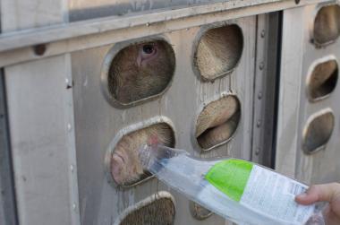 Für Mitleid und Tierliebe angezeigt – Anita Krajnc gab durstigen Schweinen Wasser