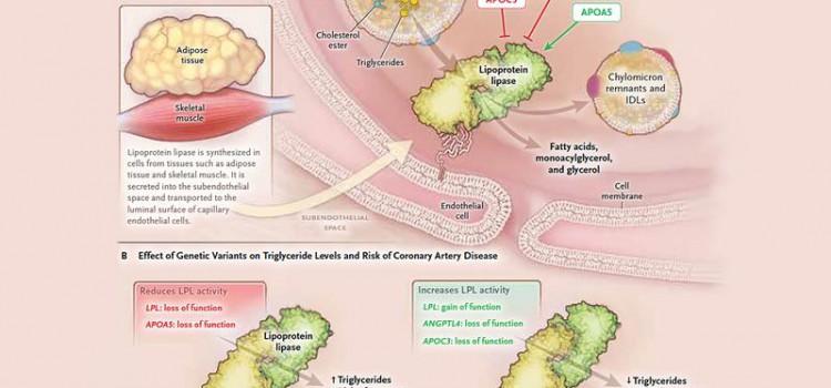 Mutiertes Gen schützt möglicherweise vor Herzinfarkt