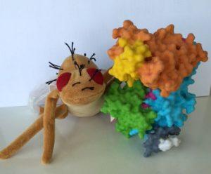 Modell des neu entschlüsselten Proteinkomplexes - und des Haustieres der Forscher, die Fruchtfliege Drosophila melanogaster | Bildquelle: Universität Hohenheim, Dr. Dieter Maier