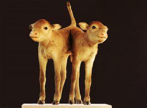 Ein siamesisches Kalb aus dem Zoologisch-Tiermedizinischen Museum der Universität Hohenheim. | Bildquelle: Universität Hohenheim.