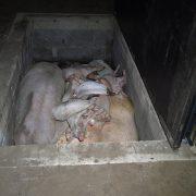 """Das Leid der Tiere unter dem Deckmantel """"Initiative Tierwohl"""" – PETA deckt auf"""