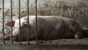 Schweinehaltung in Betrieben mit Verbindung zur Initiative Tierwohl.