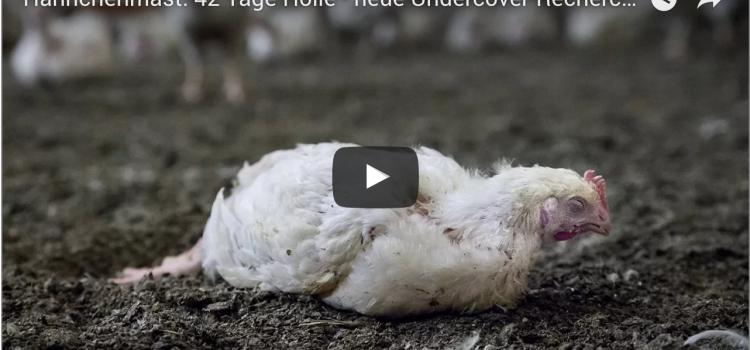 Wieder Tierquälerei in deutschen Hühnermastbetrieben aufgedeckt