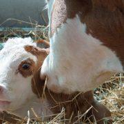 Wie Tiere Bauernkinder durch Sialinsäure vor Asthma schützen