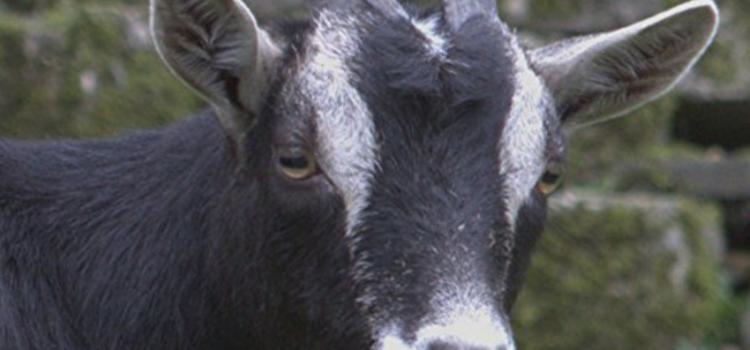 Review: Destinova – Nameless Goat